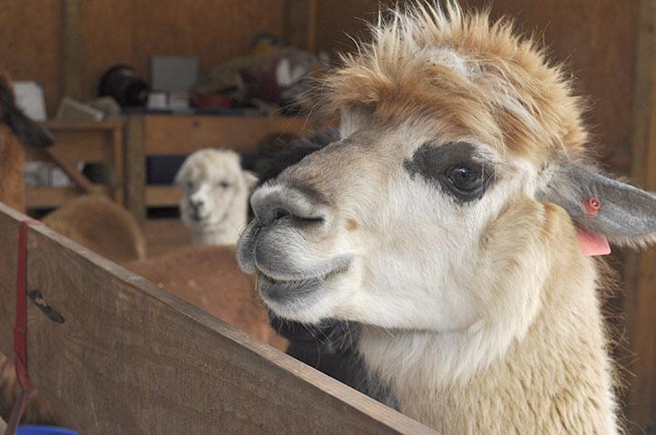 Misty the alpaca